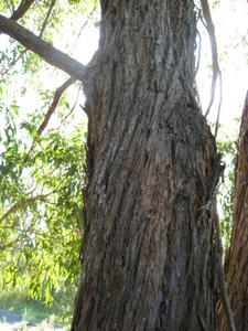 Eucalyptus umbra may have twisting bark