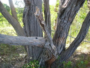 Eucalyptus umbra mallee trunks