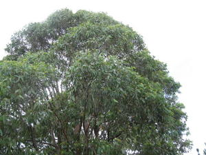 Eucalyptus umbra crown