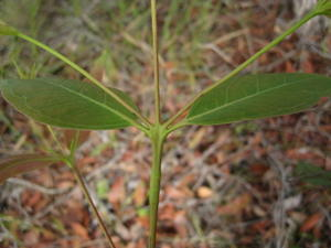 Eucalyptus umbra juvenile leaves