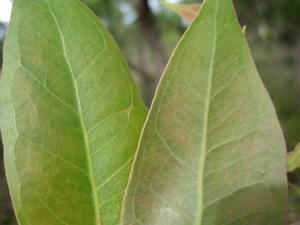 Eucalyptus umbra juvenile leaves slightly discolourous