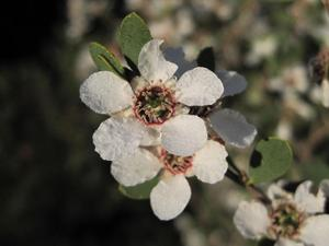 Leptospermum laevigatum - Coastal Tea-tree