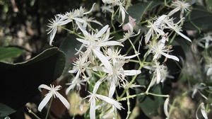 Clematis glycinoides - Old Man's Beard