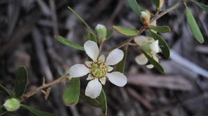 Leptospermum attenuatum - Flaky-barked Tea-Tree