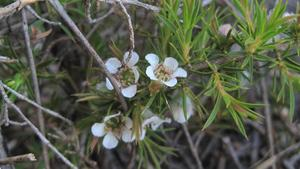 Leptospermum arachnoides - Spidery Tea-tree