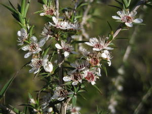 Leptospermum juniperinum - Prickly Tea-tree