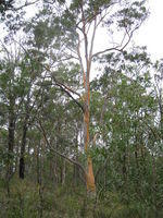 Eucalyptus propinqua - Small Fruited Grey Gum