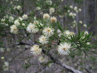 Melaleuca nodosa - Ball Honeymyrtle